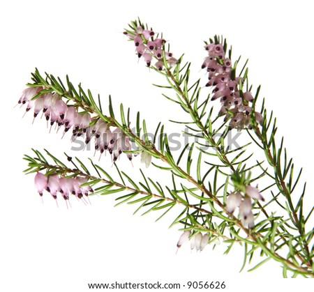 pink heather (Erica), isolated - stock photo