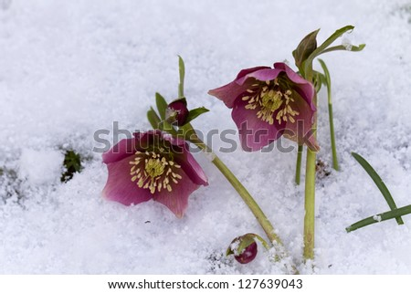 Pink  Hellebore (Helleborus niger) or Christmas Rose flowers in their natural habitat,  shallow DOF - stock photo
