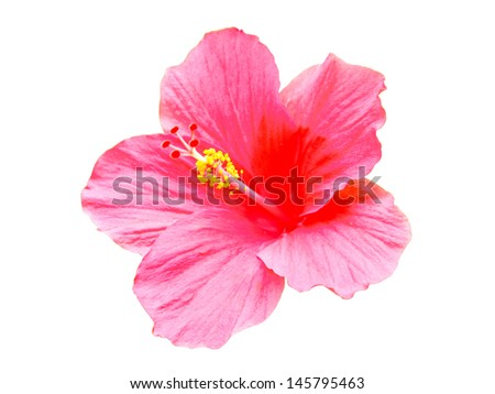 Pink hibiscus flowers isolated on white background - stock photo