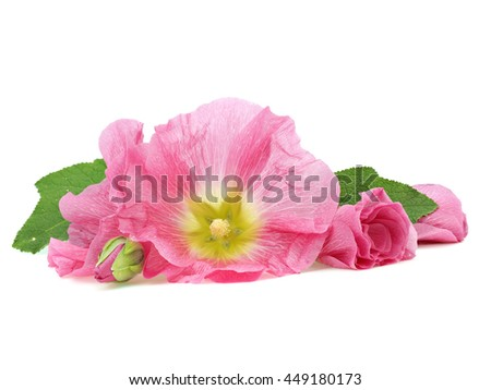 Pink hollyhock flower on a white - stock photo