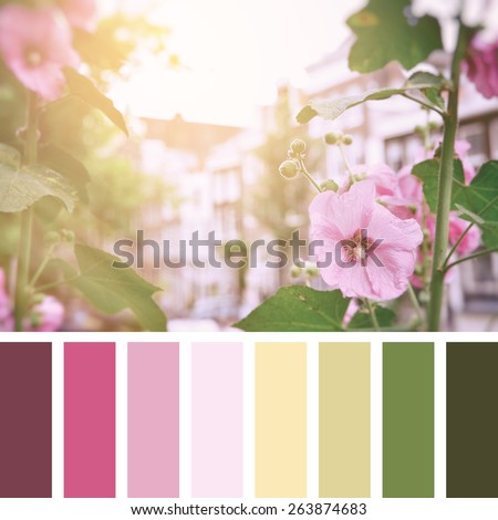 Pink hollyhock flowers in the sunlight, with the buildings of old Amsterdam in the background. Vintage film style processing in a colour palette, with complimentary colour swatches - stock photo
