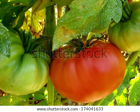 pink home grown tomatoes sprayed with Bordeaux mixture to protect against fungal infections                                - stock photo