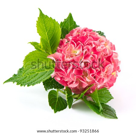 pink hortensia blossom with green leaves. fresh hydrangea flower on white background - stock photo