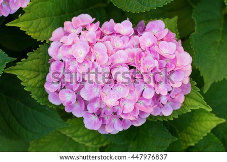 Pink hortensia (hydrangea) flower blooming in early July - stock photo