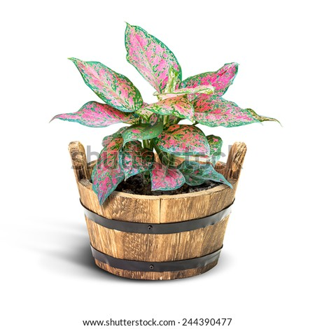 Pink houseplant in wooden bucket isolated on white - stock photo