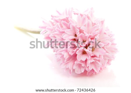 Pink hyacinth flower isolated on white background - stock photo