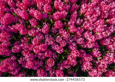 pink hyacinths - stock photo