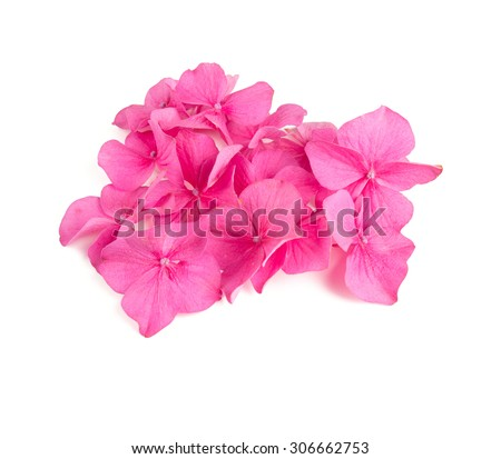 pink hydrangea flowers isolated on white - stock photo