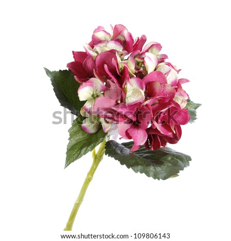 pink hydrangea isolated on white - stock photo