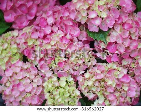 Pink hydrangeas on a foliage background, close-up - stock photo