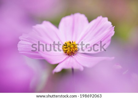Pink japanese anemone, soft  and dreamy - stock photo