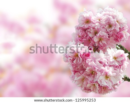 Pink Japanese cherry blossoms in springtime with copy space in the blurred background. - stock photo