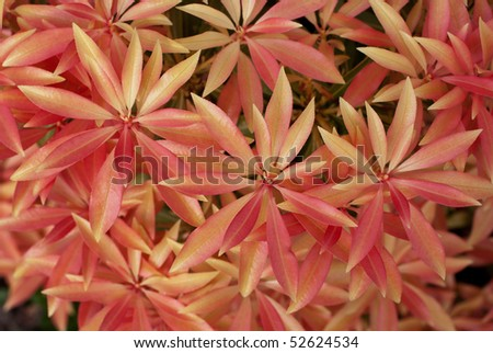 Pink leaves of Pieris japonica. Spring background - stock photo