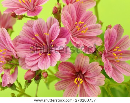 Pink lewisia flowers - stock photo