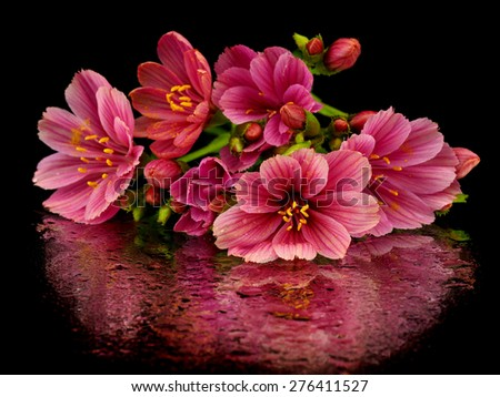 Pink lewisia flowers on a black background with reflection - stock photo