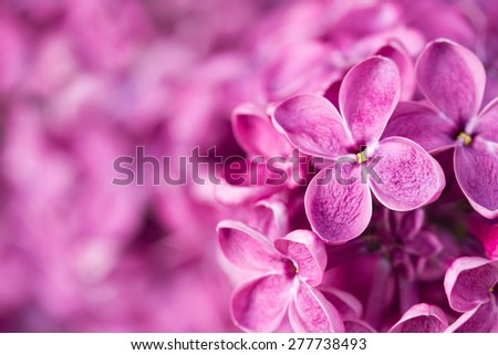 Pink lilac flowers - stock photo