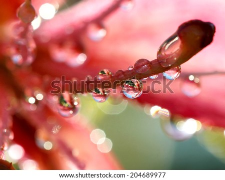 Pink lilies after the rain, selective focus, macro - stock photo