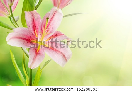 Pink lilies background - stock photo
