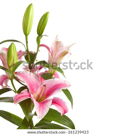Pink lilies bunch isolated on a white background - stock photo