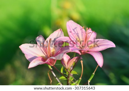 Pink lilies with butterfly in the green grass in the morning rays, selective focus - stock photo