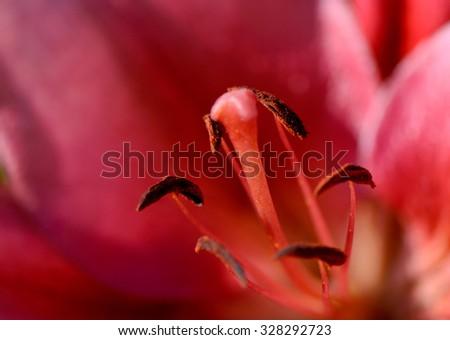 Pink lily closeup - stock photo