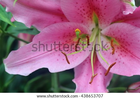 Pink lily flower in full bloom, with close up of the stigma and filaments - stock photo