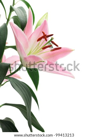 Pink lily isolated on white background - stock photo
