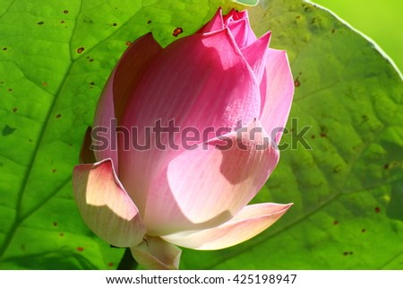 Pink lotus. - stock photo