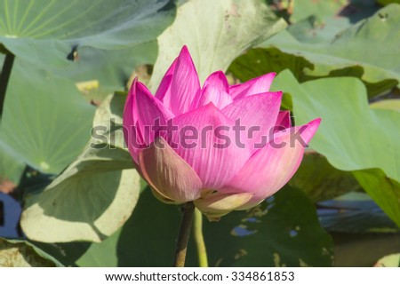 Pink lotus bloom lotus leaves among morning. - stock photo