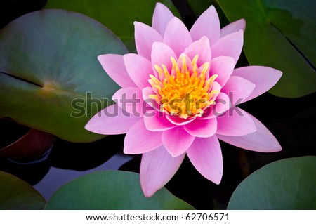 pink lotus blooming in the tropical garden - stock photo
