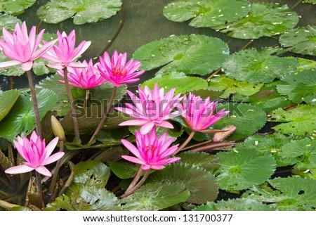 Pink lotus blossoms - stock photo