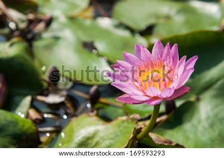 pink lotus flower - stock photo