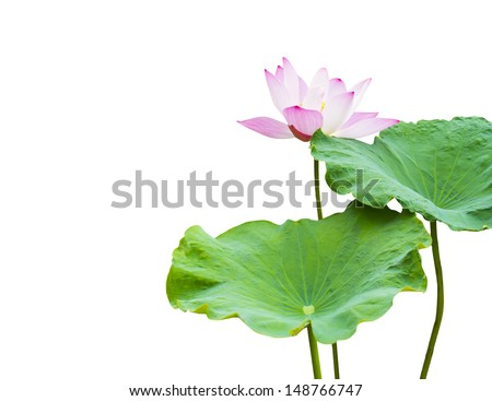 pink lotus flower and leaf isolated on white  - stock photo