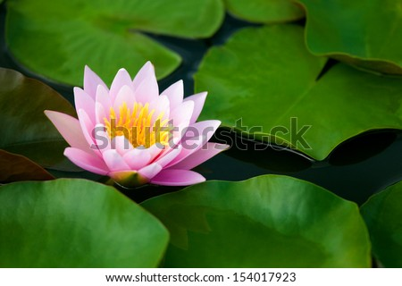 Pink Lotus flower beautiful lotus. - stock photo