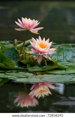 pink lotus flower blooming at summer - stock photo