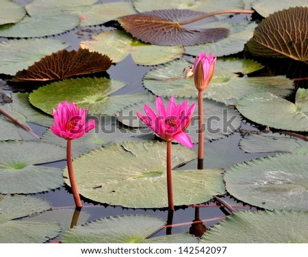 Pink lotus flower blooming in pond in the summer . - stock photo