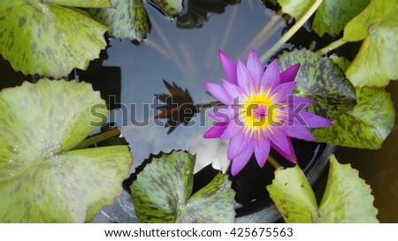 Pink lotus flower blooming ,Water Lilies flower - stock photo