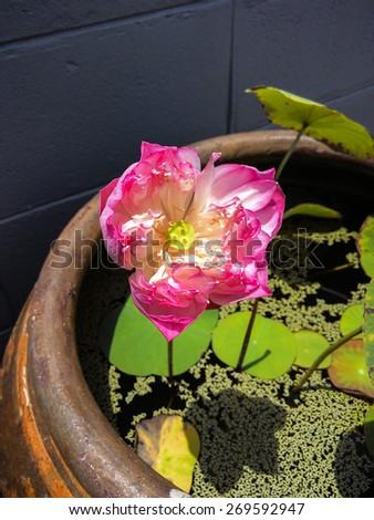 Pink lotus flower in big water jar ,is popular in garden home - stock photo