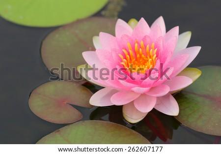 Pink lotus flower in full bloom. - stock photo