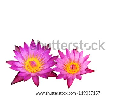 pink lotus flowers on white background - stock photo