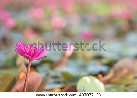 Pink Lotus in lake with space at right side. - stock photo