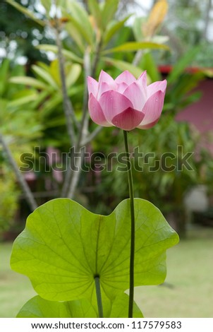 Pink Lotus in Park - stock photo
