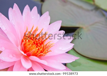Pink lotus in the pool as flower style - stock photo