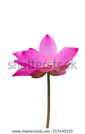 Pink lotus isolated on white background - stock photo
