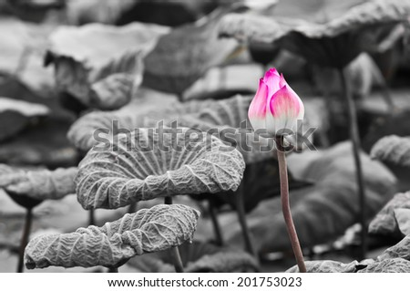 Pink Lotus on Black and White Background - stock photo