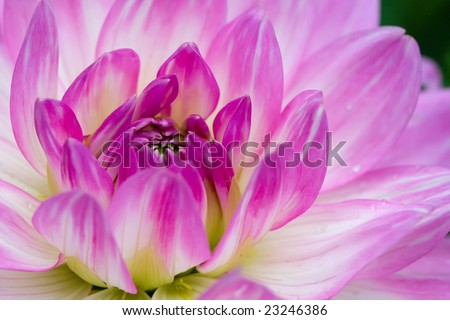 Pink macro dahlia with white lines in summer - stock photo