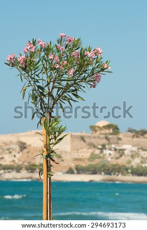 Pink magnolia and Venetian fortress in Rethymno, Crete - stock photo