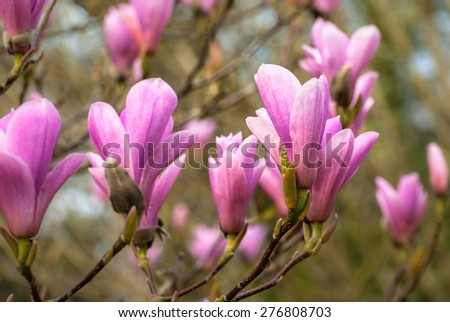 Pink Magnolia buds about to open in spring. - stock photo
