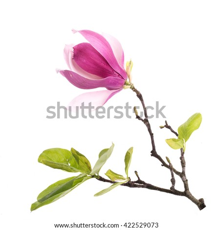 pink magnolia flowers isolated on white background - stock photo