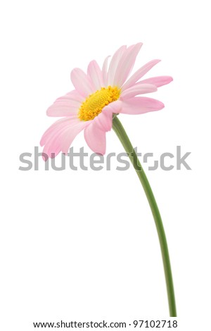 Pink marguerite isolated on white background - stock photo